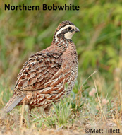 northern bob white